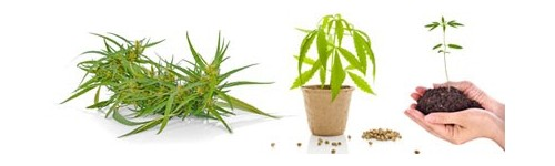 Grow Shop, Hemp cultivation